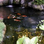 Story on fish pond and garden of Ng Yan Peng at Kota Kemunning Shah Alam. April29, 2015.